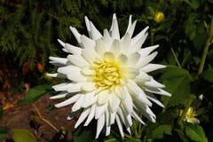 Ντάλια με τα κρεμ πέταλα Άσπρο αστέρι νταλιών Άσπρες ντάλιες στον κήπο στοκ φωτογραφίες