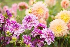 Ντάλια λουλουδιών Στοκ φωτογραφία με δικαίωμα ελεύθερης χρήσης