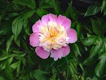 Ντάλιες λουλουδιών Στοκ εικόνα με δικαίωμα ελεύθερης χρήσης