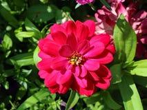 Ντάλιες λουλουδιών Στοκ Εικόνες