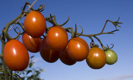 ντομάτα δαμάσκηνων κερασ&iota Στοκ φωτογραφία με δικαίωμα ελεύθερης χρήσης