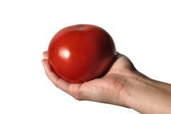 ντομάτα εκμετάλλευσης Στοκ Εικόνες