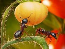 ντομάτα ζουγκλών μυρμηγκ& Στοκ εικόνα με δικαίωμα ελεύθερης χρήσης