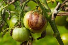 Ντομάτα κτυπημένο Phytophthora Phytophthora Infestans Στοκ φωτογραφία με δικαίωμα ελεύθερης χρήσης