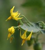 ντομάτα λουλουδιών Στοκ φωτογραφίες με δικαίωμα ελεύθερης χρήσης