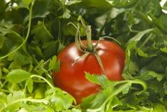 ντομάτα μαϊντανού Στοκ φωτογραφία με δικαίωμα ελεύθερης χρήσης