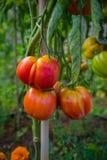 Ντομάτα μπριζολών καρδιών βόειου κρέατος που ωριμάζει σε έναν κλάδο στον κήπο διανομής στοκ εικόνες