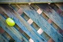 Ντομάτα που κολλιέται στο φράκτη στοκ φωτογραφίες
