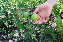 Ντομάτα που ψεκάζεται με το θειικό άλας χαλκού Πρόληψη του phytophthora Καλλιέργεια ντοματών Αυξανόμενος τη νέα ντομάτα στη γυναί Στοκ Εικόνα