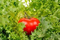ντομάτα σαλάτας φύλλων Στοκ Φωτογραφίες