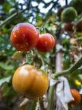 Ντομάτα στον κλάδο Στοκ φωτογραφία με δικαίωμα ελεύθερης χρήσης