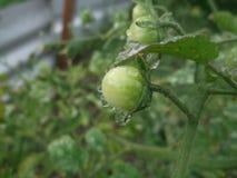 ντομάτα υγρή Στοκ Φωτογραφίες