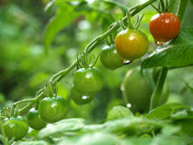 ντομάτα φυτών Στοκ φωτογραφία με δικαίωμα ελεύθερης χρήσης