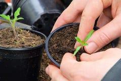 ντομάτα φυτών Στοκ Εικόνα