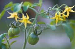ντομάτα φυτών Στοκ Εικόνες