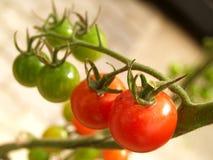 ντομάτα 06 Στοκ Φωτογραφία