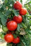 ντομάτα Στοκ Φωτογραφία