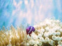 Ντομάτα anemonefish, συγκρατημένος clownfish Στοκ φωτογραφία με δικαίωμα ελεύθερης χρήσης