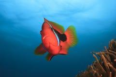 Ντομάτα Anemonefish Στοκ Εικόνες