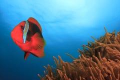 Ντομάτα Anemonefish Στοκ Εικόνα