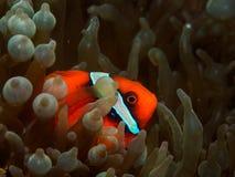 Ντομάτα Anemonefish Στοκ φωτογραφίες με δικαίωμα ελεύθερης χρήσης