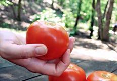 Ντομάτες Α Στοκ Εικόνες