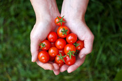 Ντομάτες εκμετάλλευσης γυναικών στα χέρια Στοκ Εικόνες