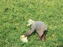 ντομάτες επιλογών κηπουρών Στοκ Εικόνες