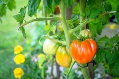 ντομάτες κήπων Στοκ φωτογραφία με δικαίωμα ελεύθερης χρήσης