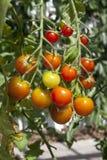 ντομάτες κερασιών Στοκ Εικόνες