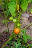 Ντομάτες κερασιών Greeny - ντομάτες unripe κερασιών δεσμών σε ένα gre Στοκ φωτογραφίες με δικαίωμα ελεύθερης χρήσης