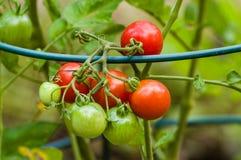 Ντομάτες κολλών ή δαμάσκηνων στον κήπο Στοκ εικόνα με δικαίωμα ελεύθερης χρήσης
