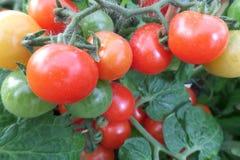 Ντομάτες κόκκινοι πορτοκαλής κίτρινος και πράσινος στοκ εικόνα με δικαίωμα ελεύθερης χρήσης
