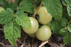 Ντομάτες μωρών Στοκ Φωτογραφία
