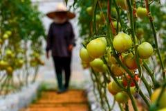 Ντομάτες, οργανικός έλεγχος αγροτών και ντομάτες στοκ εικόνα με δικαίωμα ελεύθερης χρήσης