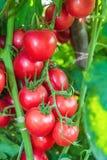 Ντομάτες που κρεμούν στο δέντρο. Στοκ Φωτογραφία