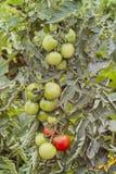 Ντομάτες σε έναν θάμνο ακόμα unripe, Lycopersicon esculentum, Solanum lycopersicum, Βαυαρία, Γερμανία, Ευρώπη στοκ φωτογραφία με δικαίωμα ελεύθερης χρήσης