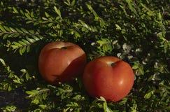 Ντομάτες σε έναν τομέα της χλόης Στοκ Φωτογραφία