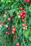 Ντομάτες σε έναν φυτικό κήπο. Στοκ φωτογραφίες με δικαίωμα ελεύθερης χρήσης