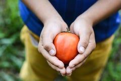 Ντομάτες στα ανθρώπινα χέρια Στοκ Φωτογραφία