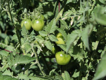 Ντομάτες στην άμπελο. Στοκ φωτογραφία με δικαίωμα ελεύθερης χρήσης