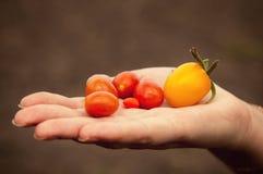 Ντομάτες στην παλάμη του χεριού Στοκ Φωτογραφία