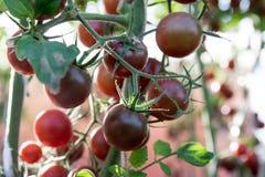 Ντομάτες στον κήπο, φυτικός κήπος με τις εγκαταστάσεις των κόκκινων ντοματών Ώριμες ντομάτες σε μια άμπελο, που αυξάνεται σε έναν Στοκ Εικόνες