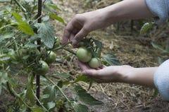 Ντομάτες στον κήπο στοκ εικόνα
