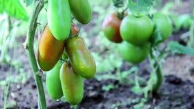 Ντομάτες στον κήπο, απόθεμα βίντεο