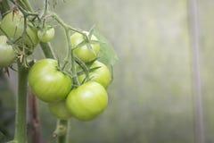 Ντομάτες στο θερμοκήπιο Στοκ εικόνες με δικαίωμα ελεύθερης χρήσης