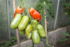 Ντομάτες στο θερμοκήπιο Στοκ φωτογραφία με δικαίωμα ελεύθερης χρήσης