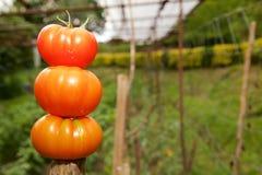 Ντομάτες στο ραβδί στοκ φωτογραφία