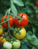 ντομάτες 1 στοκ φωτογραφίες