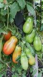Ντομάτες SAN Marzano Στοκ φωτογραφία με δικαίωμα ελεύθερης χρήσης